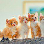 Vacunación felina