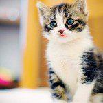 El virus de la leucemia felina