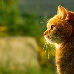 El Virus de la inmunodeficiencia felina