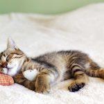Sedación de Gatos en Consulta